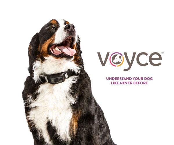 Collier connecté pour vos animaux, Voyce !