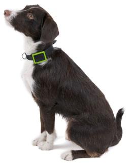 Le collier Weenect sera le compagnon indispensable de votre chien