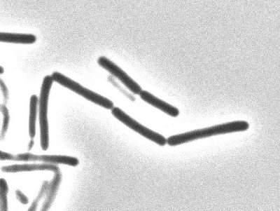 Bacillus subtilis natto