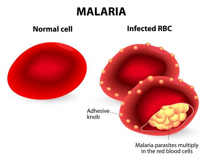 santé globules rouges paludisme