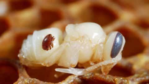 Déclin des abeilles im3