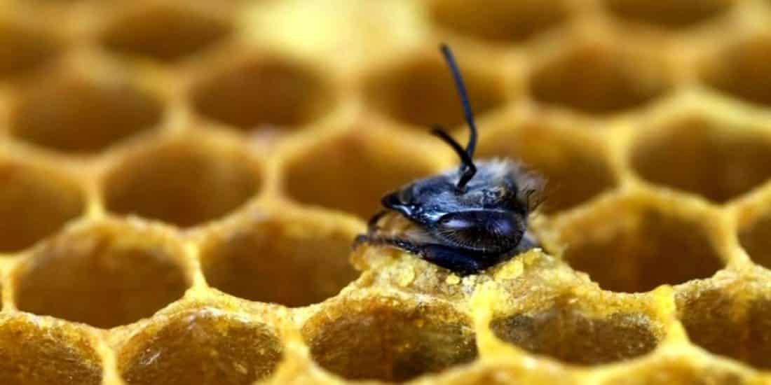 Déclin des abeilles im1