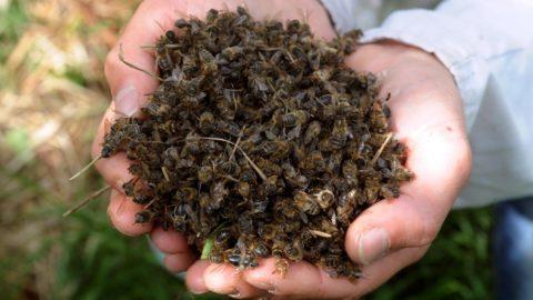 Déclin des abeilles im2