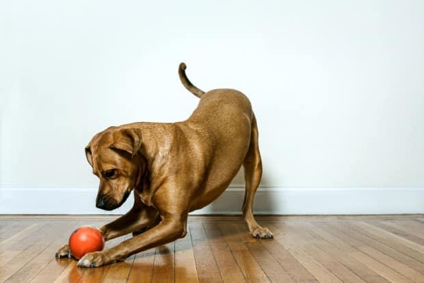 Un chien joue avec la balle connectée Playdate