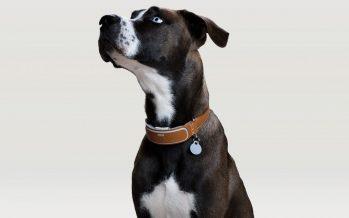 Link : American Kennel Club lance son collier connecté pour chien