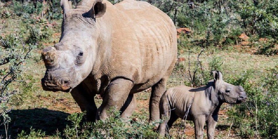 rhinoceros sigfox