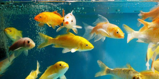 Faites nager vos poissons dans un aquarium connecté