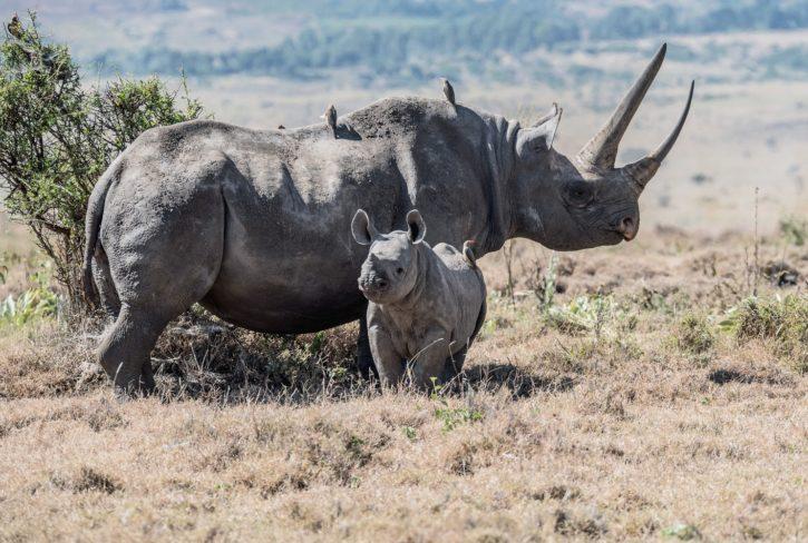 Un rhinocéros et son petit