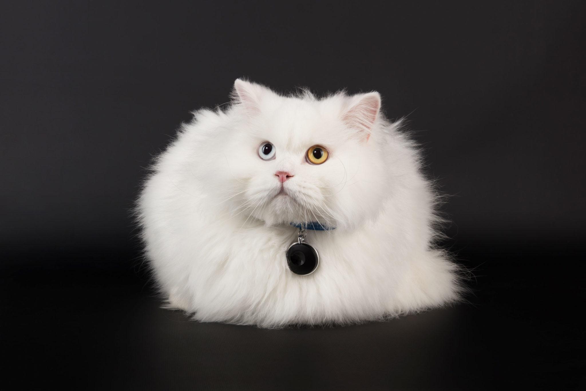 chat posant avec le médaillon connecté Feelloo